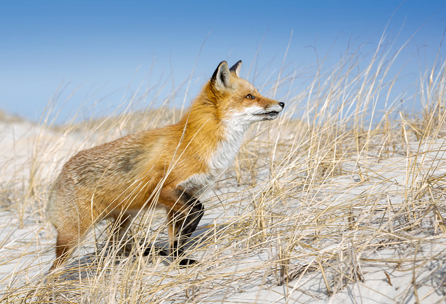 Habitat for Wildlife - Red Fox