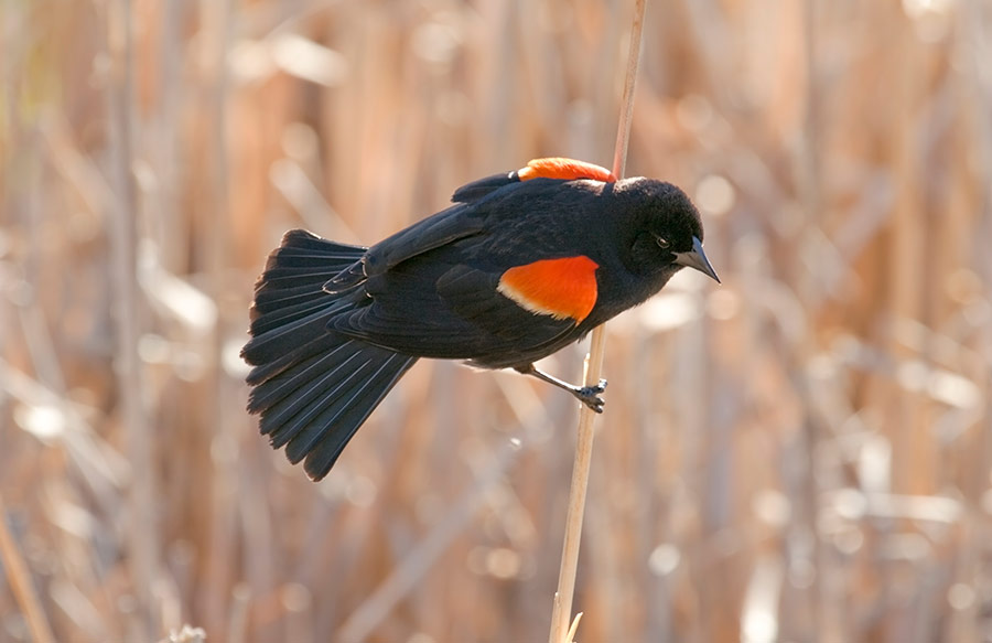 Red-winged Blackbird on grass