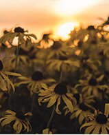 Cone flowers at sunset